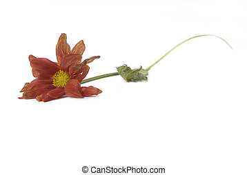 wilted flower fall on the floor isolated white background
