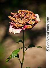 wilted rose - wilted dried rose in a garden