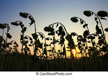 wilted sunflower in sunset