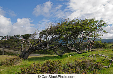 Wind-bent flag tree on a small hill n Fireland (Tierra Del Fuego), Patagonia, Argentina