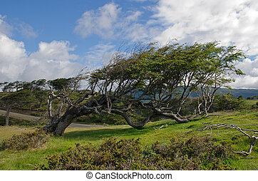 Wind-bent tree in Tierra Del Fuego - Wind-bent flag tree on ...
