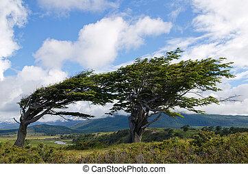 Wind-bent trees in Fireland (Tierra Del Fuego), Patagonia,...