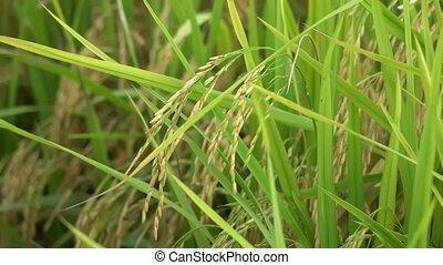 Wind blow green paddy field seed.