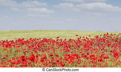 wind blowing across poppy flowers field