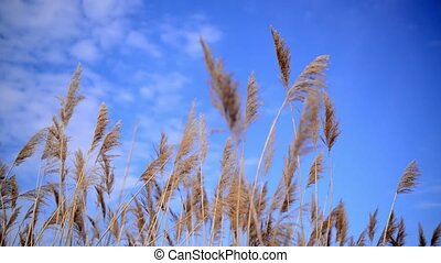 Wind blowing in the cane reed