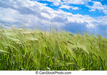 wind blowing over wheat crop