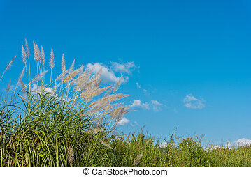 Wind blowing through flower grass with blue sky