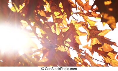 Wind Blowing Vibrant Leaves. Autumn oat leaves on a tree.