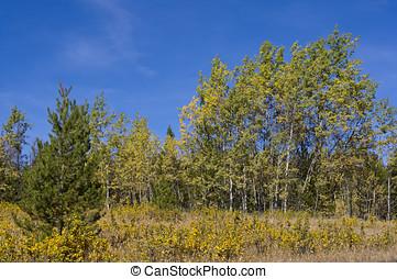 Wind-blown autumn aspens - Aspens bending in an autumn...