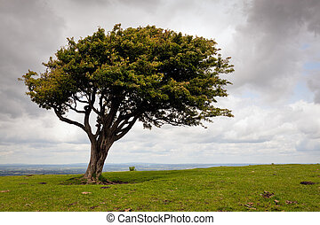 Wind blown tree on the South Downs