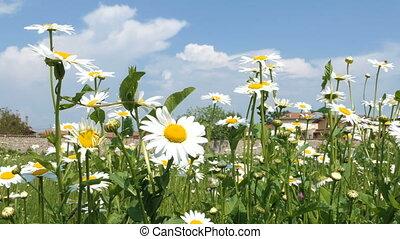 Wind blows daisy flowers on green meadow - Daisy flowers...