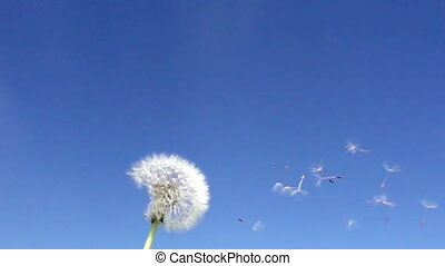 Wind blows off fuzzes with seeds from a white dandelion...