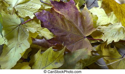 Wind blows off the fallen autumn leaves of a maple from a...