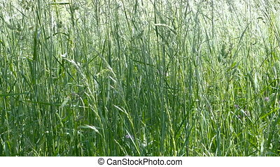 Wind blows tall grasses in field - Tall green grass gently...