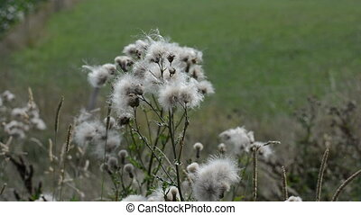 Wind blows the seeds of plants in august.