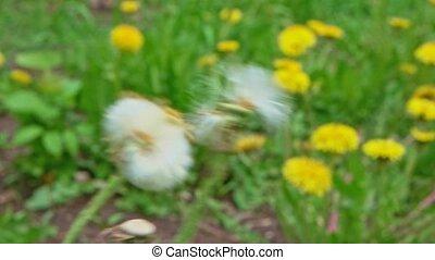 Wind destroying blowball in slow motion