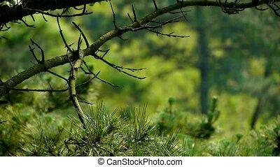 Wind, dicht, kiefer, Bäume, Büsche
