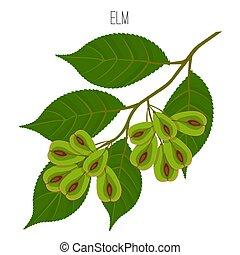 wind-dispersed, olmo, márgenes, hojas, serrate, samara,...