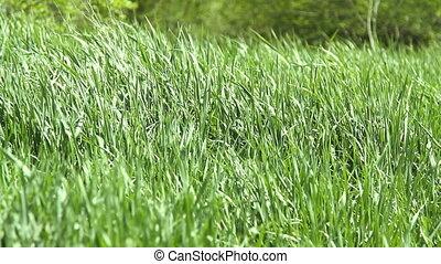 wind fluttering green grass