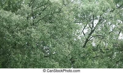 wind, in, der, eiche, bäume