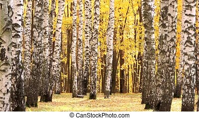 Wind in the autumn birch forest, falling yellow leaves