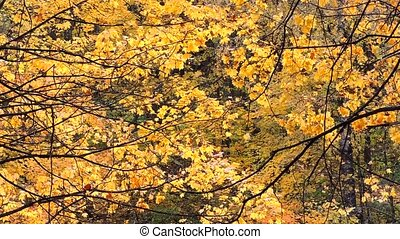 Wind in the autumn forest, falling maple yellow leaves