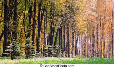 Wind in the autumn forest, falling yellow leaves