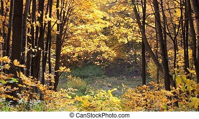 Wind in the autumn maple forest, falling yellow maple leaves 1