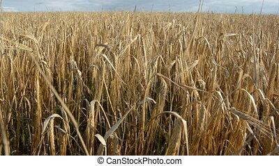 wind in the summer barley field