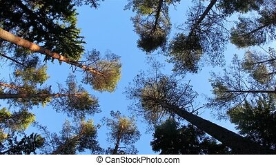 Wind in the trees from low angle - Pine trees waving in the...