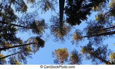 Wind in the trees from low angle