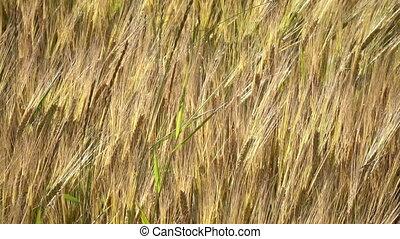 wind, luchtschommel, oor, van, rijp, tarwe, en, een, rogge, in, zomer, zonnige dag, dichtbegroeid boven