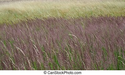 Wind on the grass. Blooming grasses in a meadow.