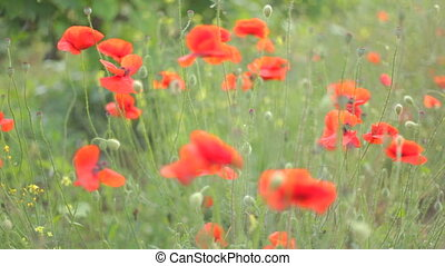 Wind playing with red poppies and w