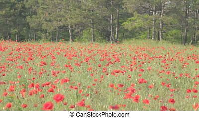 Wind playing with red poppies
