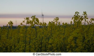 Wind power station in field with rape oil seed plants. -...