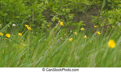 wind., printemps, renoncule, vert jaune, fleurs, pré