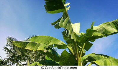 Wind Rocking Big Palm Tree - Large tropical palm tree sways...