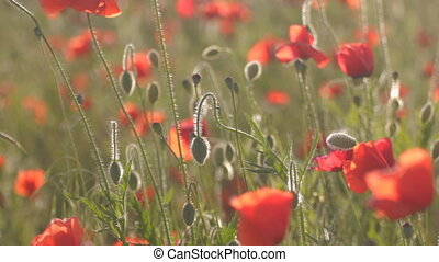 Wind rustling red poppies