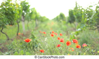 Wind rustling red poppies growing o