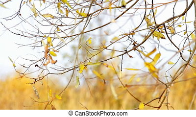 Wind shakes Autumn yellow leaves - The wind shakes Autumn...