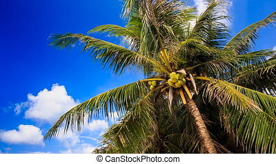 Wind Shakes Branches of Palm with Coconuts against Blue Sky