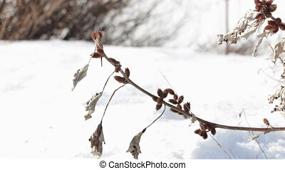 The wind shakes the Dry branch cocklebur spiny . In the background the snow