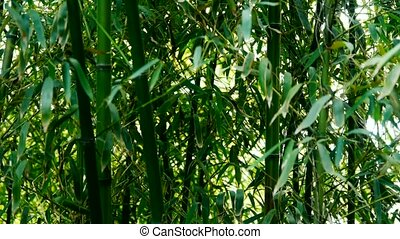wind shaking bamboo, quiet