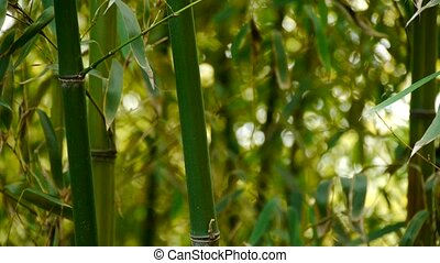 wind shaking bamboo,quiet