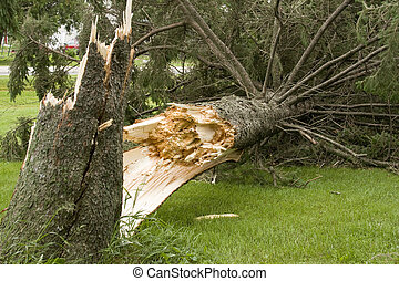 wind storm damage - pine tree on the ground from wind storm...