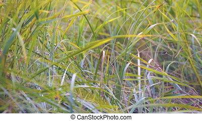 Wind swaying autumn grass. Camera panning