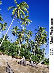 plam trees in sarawak borneo - wind swept plam trees in ...
