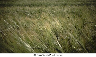 Wind swings ears of ripe wheat and a rye in summer sunny day, Close up