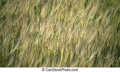 Wind swings ears of ripe wheat and a rye in summer sunny...